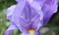 Iris (1) sm.jpg