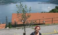Olive tree with lake view